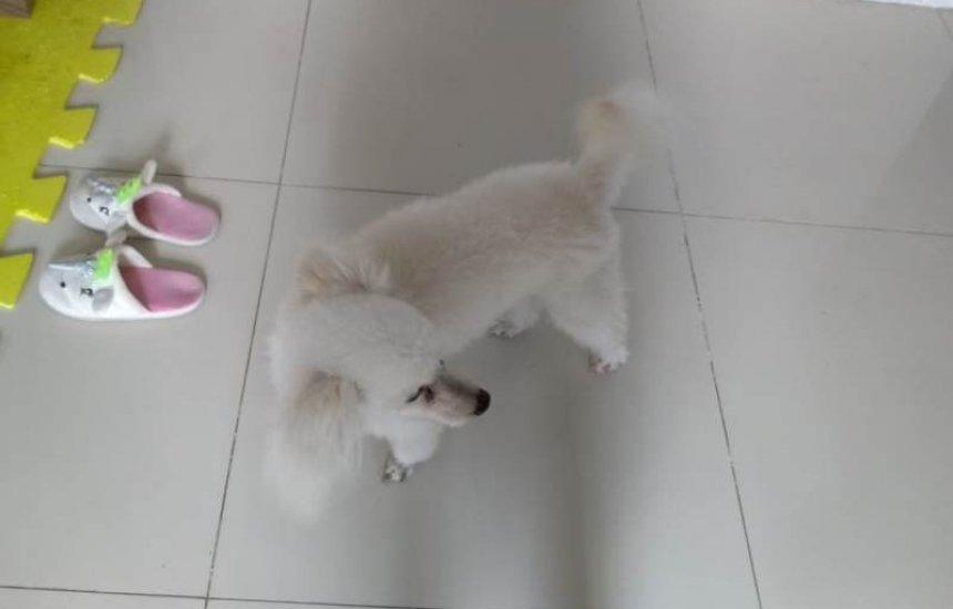 [Cão da raça Poodle está desaparecido em Camaçari]