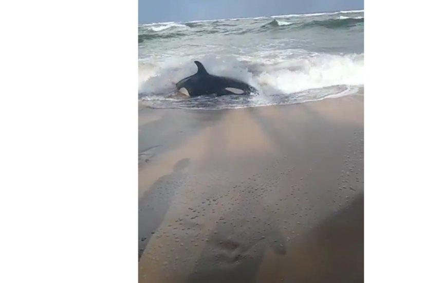 [Filhote de baleia orca encalha em praia de Guarajuba]