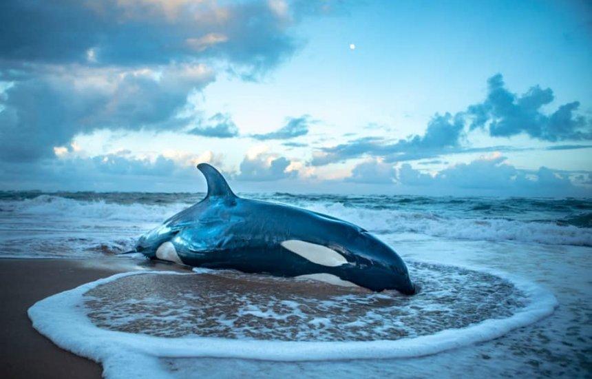 [Filhote de baleia orca que encalhou em praia de Guarajuba é sacrificada]