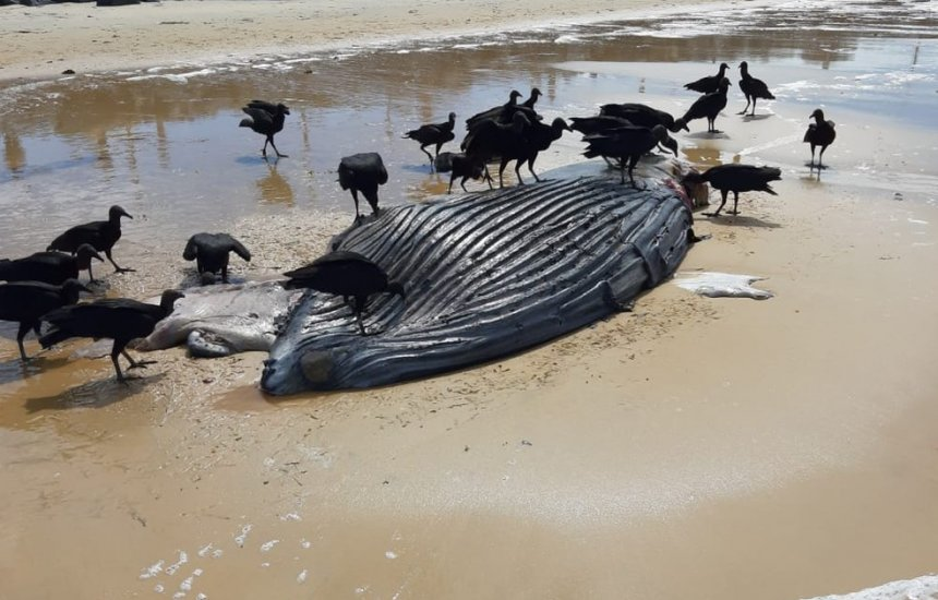 [Filhote de baleia jubarte é encontrado morto na praia de Ponta Grande]