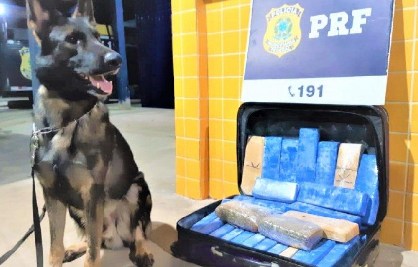 Cães da PRF encontram 22 kg de maconha em bagagens de passageiros na Bahia