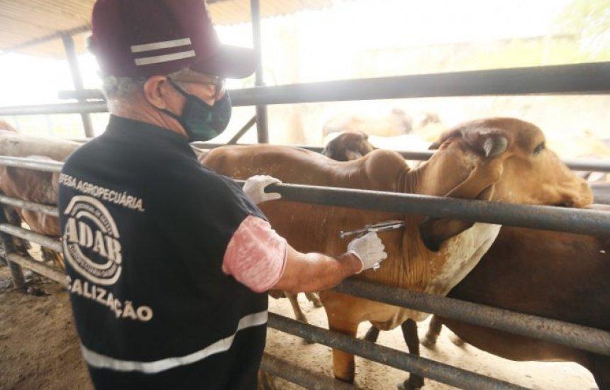 [Bahia deve vacinar 3,5 milhões de animais contra a febre aftosa até o fim de novembro]