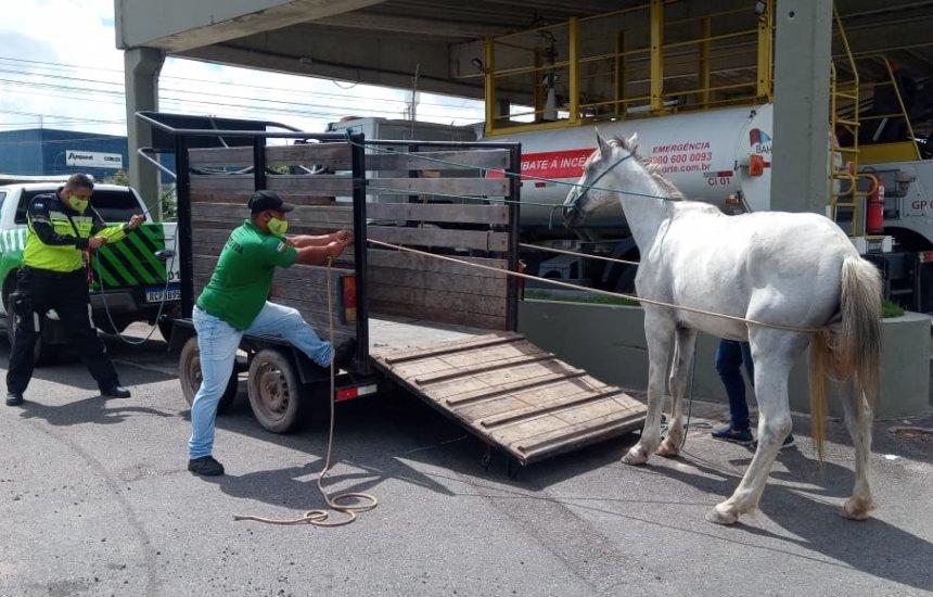 [Operação conjunta recolhe animais soltos na Via Parafuso]