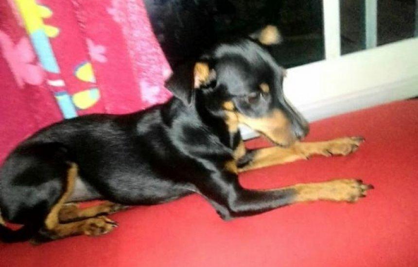 Cachorrinha Pinscher está desaparecida no Verde Horizonte